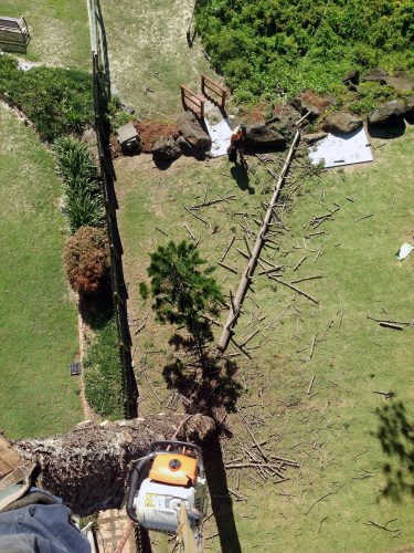 Pine tree removal Palm Beach
