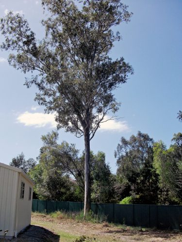 Large Gum Tree in Helensvale