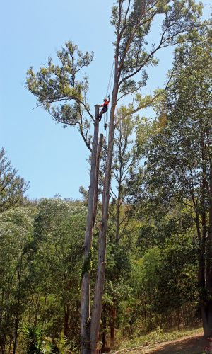 Guanaba Gum tree removal